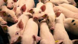 Para los productores, es esencial el desarrollo de una estructura intestinal madura y de una microbiota beneficiosa lo antes posible en el ciclo de vida de la producción. Foto: Danisco Animal Nutrition (IFF)