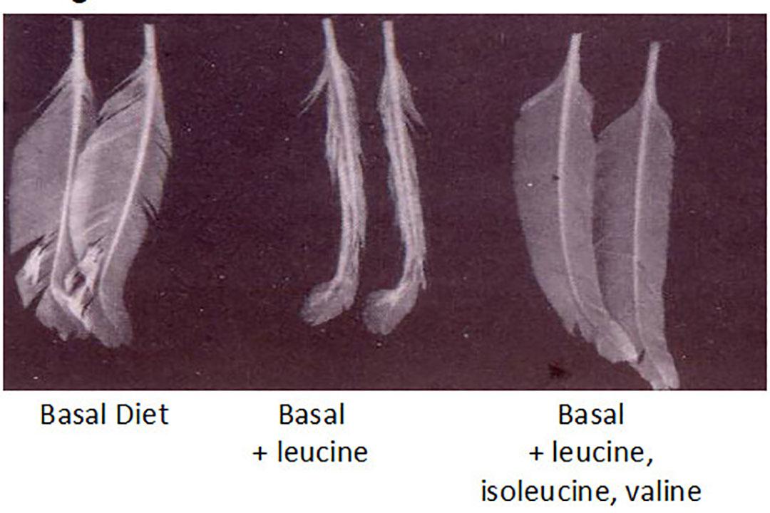 Ilustración 1: Efecto de los aminoácidos encadenados en el crecimiento de las plumas. Foto: Mario Penz