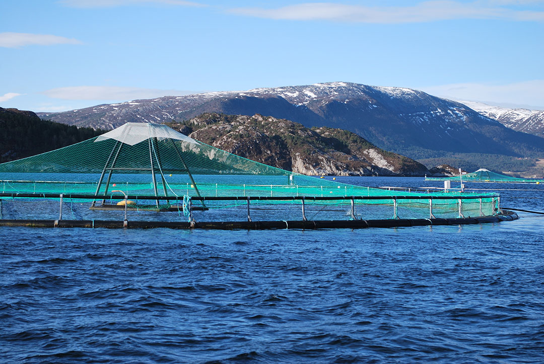 Aunque el aceite y la harina de pescado son ingredientes ideales para los piensos de muchas especies acuícolas, se necesitan sustitutos por motivos de sostenibilidad. Foto: Anders Kiessling