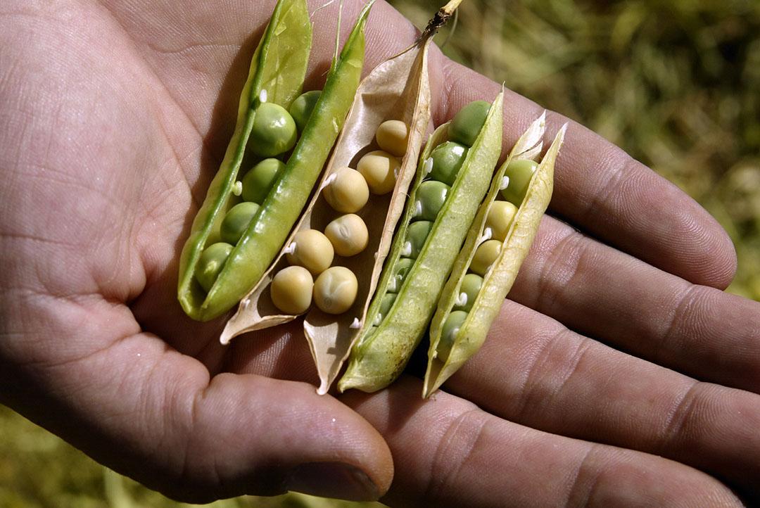 Los distintos tipos de legumbres tienen pocos inconvenientes para sustituir a la harina de soja. Foto: Hans Prinsen
