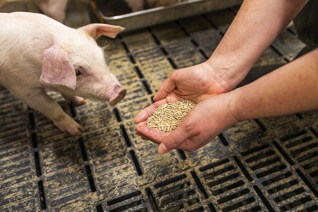 Los ingredientes limpios de los piensos contribuyen en gran medida a garantizar la salud intestinal, lo que puede mejorar la salud general del animal. Foto: Hamlet Protein