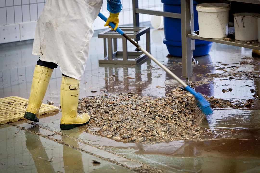 Los residuos de pescado pueden convertirse en alimento para animales mediante su trituración, acidificación y posterior almacenamiento. Foto: ANP