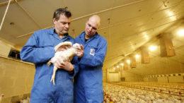 El impacto de la restricción involuntaria de alimento es sin duda un factor en las altas densidades de población en la última parte del ciclo de crecimiento de los pollos de engorde. Foto:Hans Prinsen