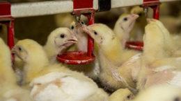 La importancia de las micotoxinas en la industria avícola puede aumentar cuando se prohíban los anticoccidios ionóforos en los piensos. Foto: Reina De Vries