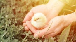 Se ha demostrado que Safmannan es muy beneficioso para su uso en todas las especies de aves de corral. Foto: Shutterstock