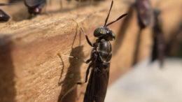 Proporcionar larvas vivas de mosca soldado negro a los lechones podría facilitar la transición al destete. Foto: Shutterstock