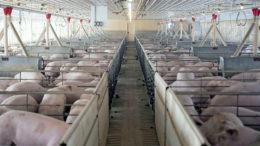 Un establo de acabado en Iowa, Estados Unidos. La granja no desempeña ningún papel en este artículo. Foto: Craig Lassig, EPA