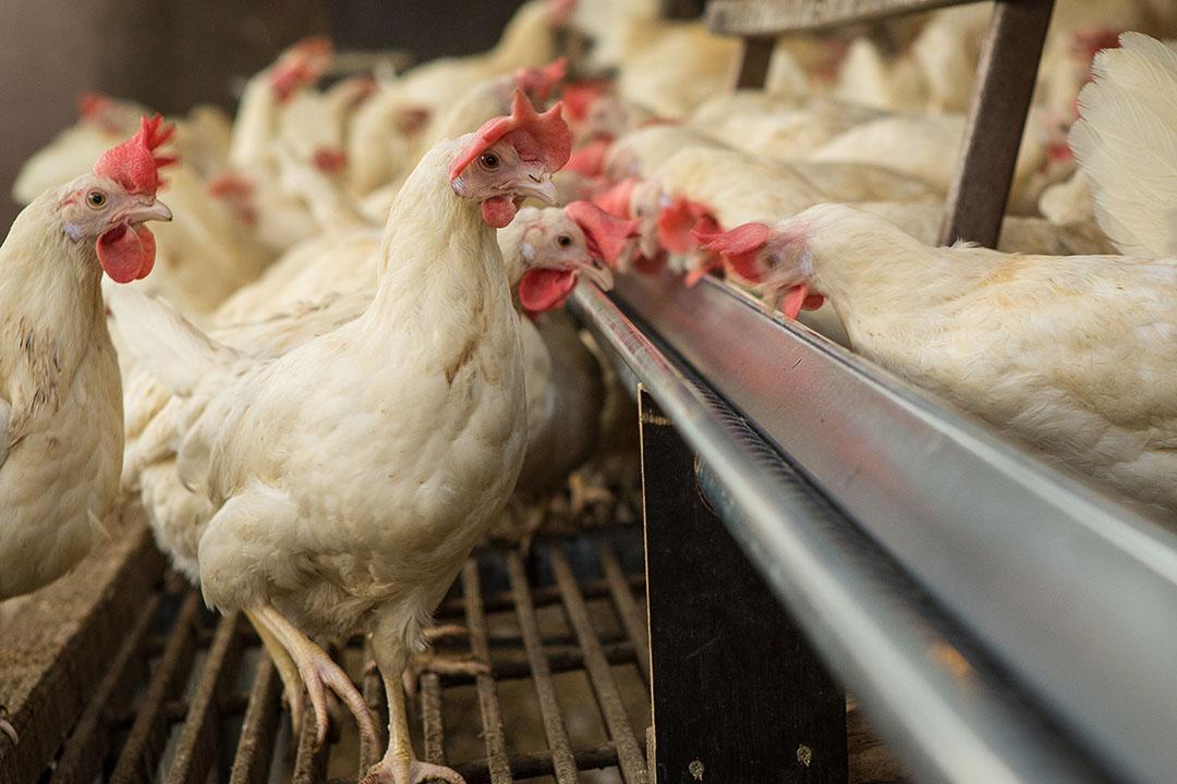 La proporción de cobre que está disponible para el ave es variable debido a las condiciones de cultivo y al estado nutricional previo de las proteínas animales. Foto: Peter J.E.Roek
