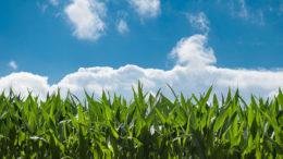 El gobierno filipino prevé que la producción de maíz del año natural 2021 alcanzará los 8,85 mmt, lo que supone un potencial de rendimiento máximo y un daño mínimo por los fenómenos climáticos. Foto: Rudy y Peter Skitterians