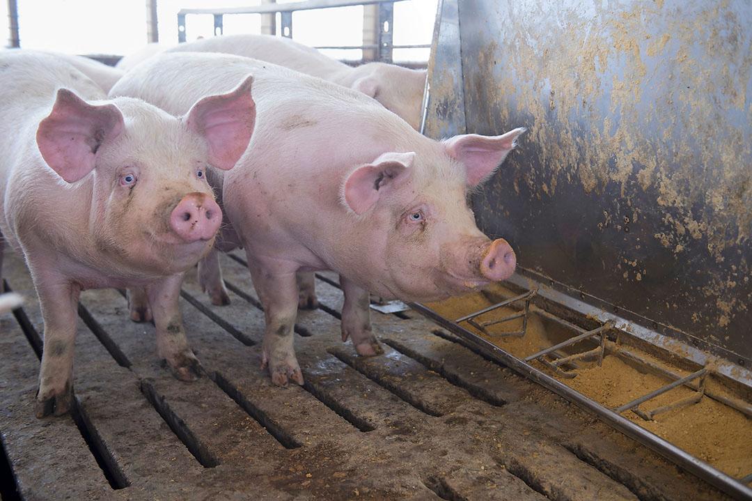 Algunos esperan que la industria porcina estadounidense siga presionando para que se siga utilizando el RAC, ya que creen que permite una producción de carne magra de cerdo más barata. Foto: Craig Lassig, Epa
