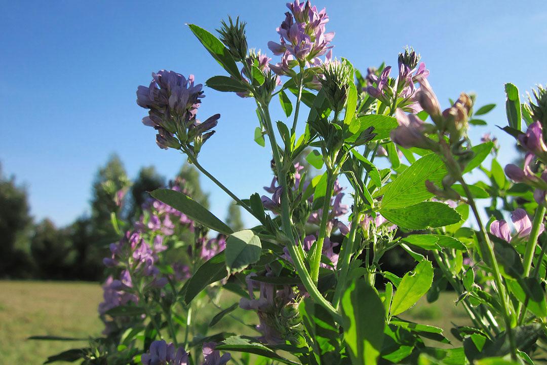 La investigación ha encontrado varios beneficios de la alimentación con legumbres en contraposición a las dietas a base de hierba pura. Foto: Pixabay