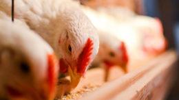 El cambio en la legislación permite utilizar PAP de cerdos en la alimentación de aves de corral, y PAP de aves de corral en la alimentación de cerdos. Foto: Olinkykfoto
