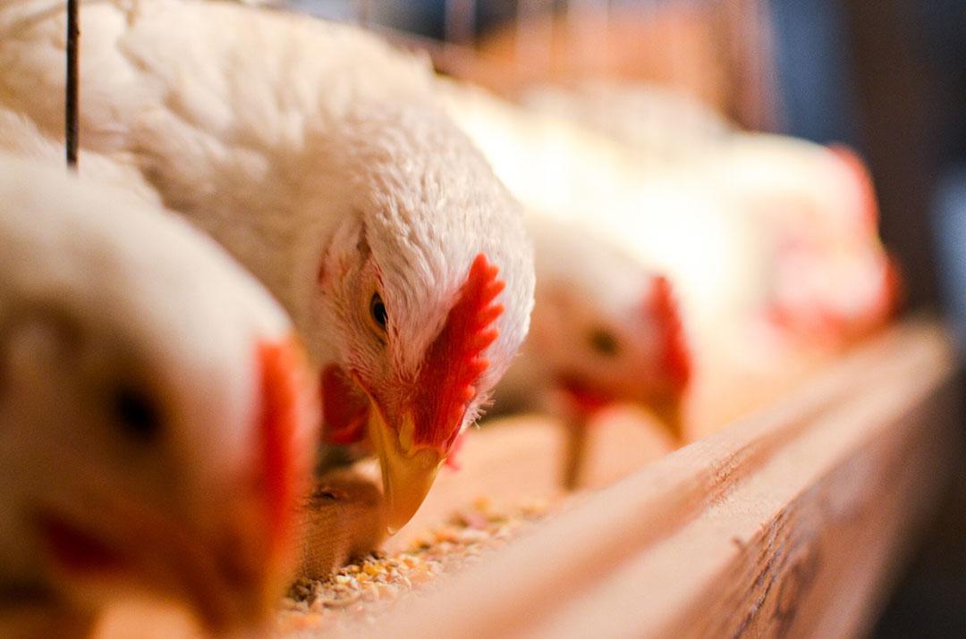 La normativa sólo cambiará para permitir el uso de otros tipos de proteínas animales transformadas (PAP) en los piensos para cerdos y aves de corral cuando se haya demostrado su seguridad. Foto: Olinkykfoto