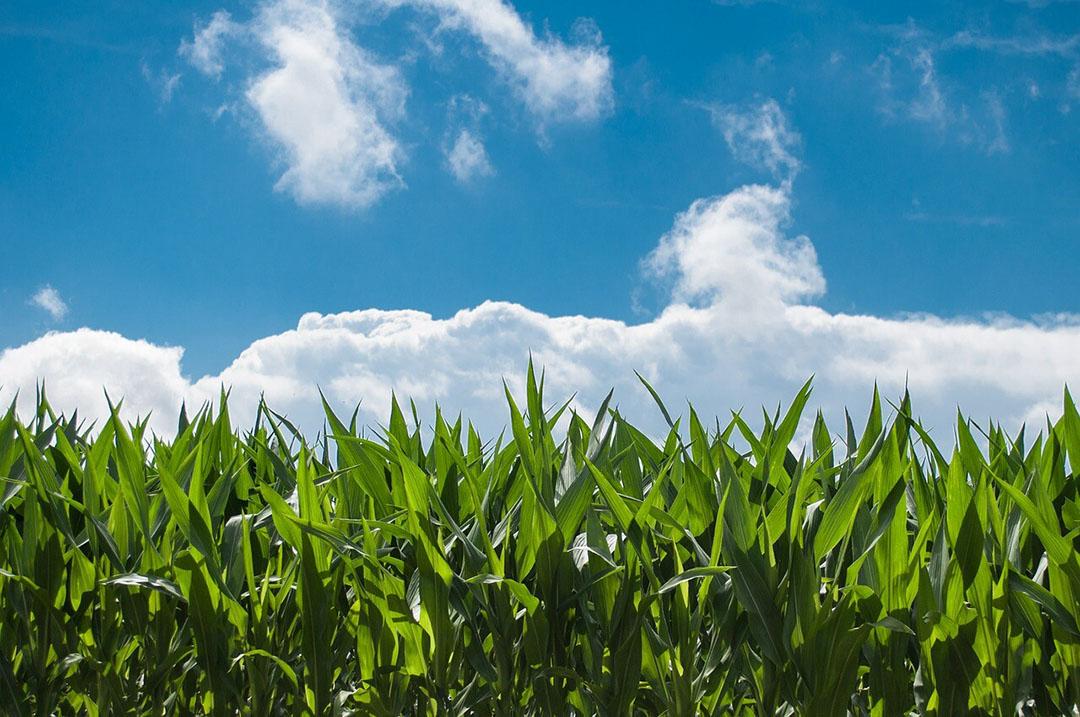 Con un rendimiento máximo en el año natural 2021, la producción filipina de maíz alcanzará la cifra récord de 8,85 mmt. Foto: Rudy y Peter Skitterians