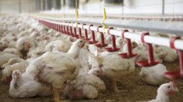 La suplementación con berberina es una estrategia dietética útil para prevenir los efectos de la aflatoxicosis y la ocratoxicosis en los pollos de engorde. Foto: Hans Prinsen