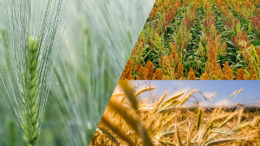 Desde la presión del suministro interno de cereales forrajeros durante la sequía, Australia produjo una cosecha récord de trigo y una cosecha casi récord de cebada. Foto: Belinda Fewings (cebada), Schwoaze (sorgo) y Raphael Rychetsky (trigo)